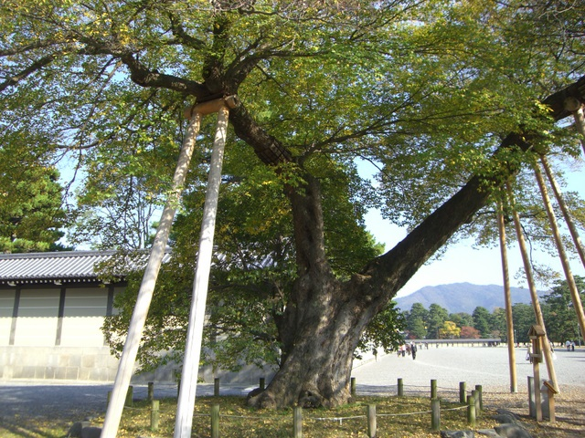 樹齢300年の見事な姿
