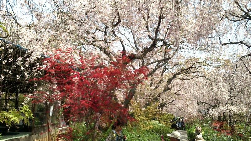 紅葉と桜の花が同時期に楽しめます