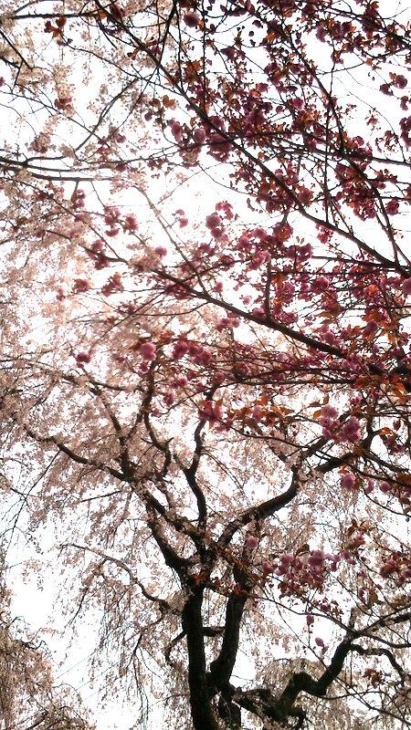 源平しだれ桜。紅白の花が咲いています