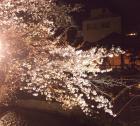 夜桜と舞妓と白川
